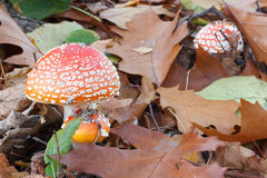 丛红色伞形毒蕈蘑菇 免版税库存照片