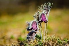 丛美丽的风花,草甸银莲花属 免版税库存图片
