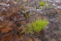 丛草在水中 免版税库存图片