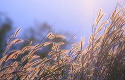 丛草,剪影图片 库存照片