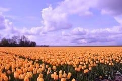 东北圩田,荷兰,郁金香的领域 免版税库存照片