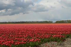 东北圩田,荷兰,郁金香的领域 免版税库存图片