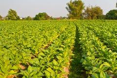 烟草农场 库存图片