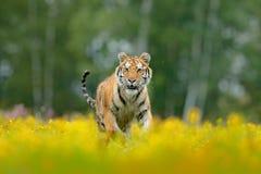 东北虎在美丽的栖所 坐在草的阿穆尔河老虎 有危险动物的开花的草甸 野生生物俄罗斯 夏天 免版税库存图片