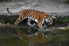 东北虎在水中走在动物园里 库存图片