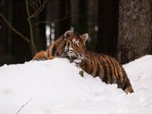 东北虎有休息在狂放的冬天自然-豹属底格里斯河altaica 免版税库存照片
