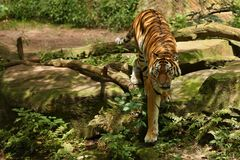 东北虎,豹属底格里斯河altaica,摆在直接地在摄影师前面 免版税库存图片