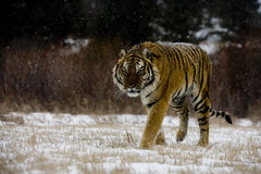 东北虎,豹属底格里斯河altaica 免版税库存照片