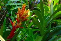 东南亚美丽的黄色红色花  免版税库存照片