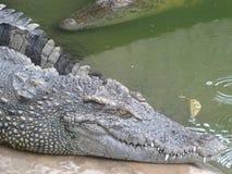 东南亚鳄鱼  免版税库存照片