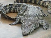 东南亚鳄鱼  库存照片