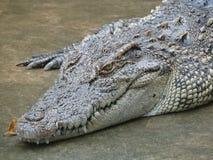 东南亚鳄鱼  库存图片