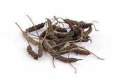 东印度人螺丝树(Helicteres isora (L.)) 免版税库存照片