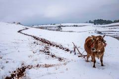 东川,云南红色土地农夫在多雪的农田里 图库摄影
