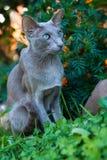东方品种步行Shorthair灰色猫在公园 库存照片