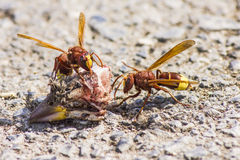 东方大黄蜂大黄蜂类orientalis 免版税图库摄影