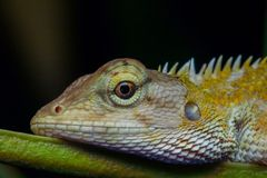 东方庭院篱芭蜥蜴,杂色的Calotes 免版税库存照片