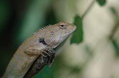 东方庭院蜥蜴坐树皮 库存照片