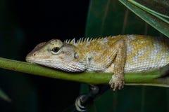 东方庭院蜥蜴特写镜头,杂色的Calates 免版税库存照片