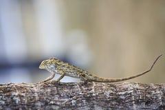 东方庭院蜥蜴 免版税图库摄影