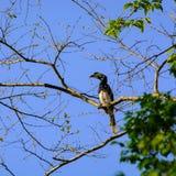 东方染色犀鸟Anthracoceros albirostris 库存照片