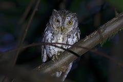 东方泰国的Scops猫头鹰Otus sunia美丽的鸟 免版税库存照片