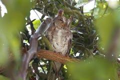 东方泰国的Scops猫头鹰Otus sunia美丽的鸟 库存照片