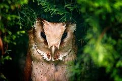 东方海湾猫头鹰, Phodilus badius,小猫头鹰在自然栖所,坐绿色云杉的树枝, backgr的森林 图库摄影
