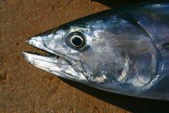 东方狐鲣接近的宏观纵向鲣类金枪鱼 免版税库存照片