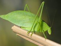 东方狐鲣蚂蚱绿色hondura katydid pico 免版税图库摄影
