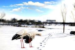东方白色鹳 免版税图库摄影