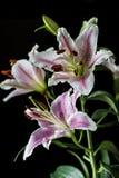 东方百合,百合属植物cernuum 免版税库存照片