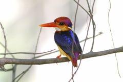 东方矮小的泰国的翠鸟Ceyx erithaca美丽的鸟 库存图片