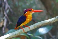 东方矮小的泰国的翠鸟Ceyx erithaca逗人喜爱的鸟 免版税库存图片