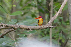 东方矮小的泰国的翠鸟Ceyx erithaca逗人喜爱的鸟 库存照片