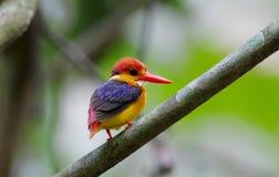 东方矮小的翠鸟黑色支持翠鸟Ceyx Lacepede 图库摄影