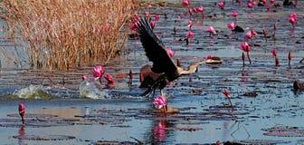 东方突进者,泰国的鸟 免版税库存图片