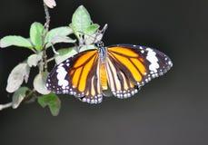 东方简单的老虎蝴蝶 库存照片