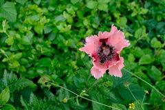 东方罂粟罂粟属Orientale `塞德里克莫妮斯`和两只蜂 库存照片