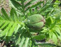 东方罂粟芽在庭院里。 库存照片