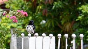 东方鹊知更鸟身分特写镜头在篱芭的 库存照片