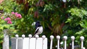 东方鹊知更鸟身分特写镜头  库存图片