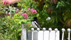 东方鹊知更鸟身分特写镜头  免版税图库摄影