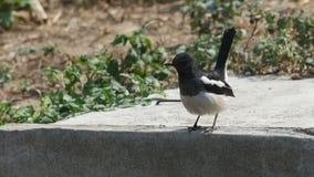 东方鹊知更鸟磨擦它的在地板上的额嘴 股票视频
