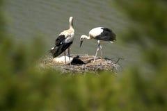 东方鹳是与黑翼羽毛的一只大,白色鸟在鹳家庭 图库摄影