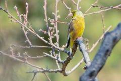 东方greenfinch 免版税图库摄影