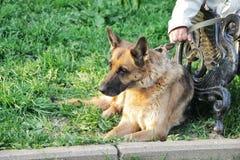 东欧牧羊人品种的狗说谎靠近长凳在草的所有者的脚,与皮带,拷贝空间 免版税库存照片