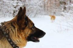 东欧牧羊人画象雪木头的与后边另一条狗 图库摄影