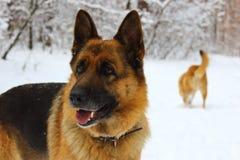 东欧牧羊人画象雪木头的与后边另一条红色狗 免版税库存照片
