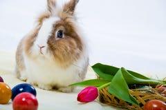 东部兔子 免版税库存照片